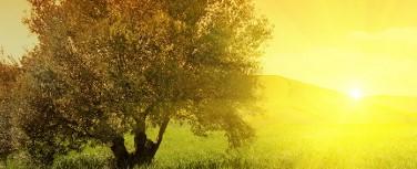Yaşam öyküsü: bin yıllık zeytin ağaçları